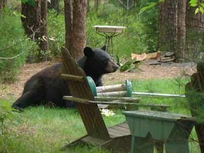 Black Bear spotted near Evesham and Medford in NJ